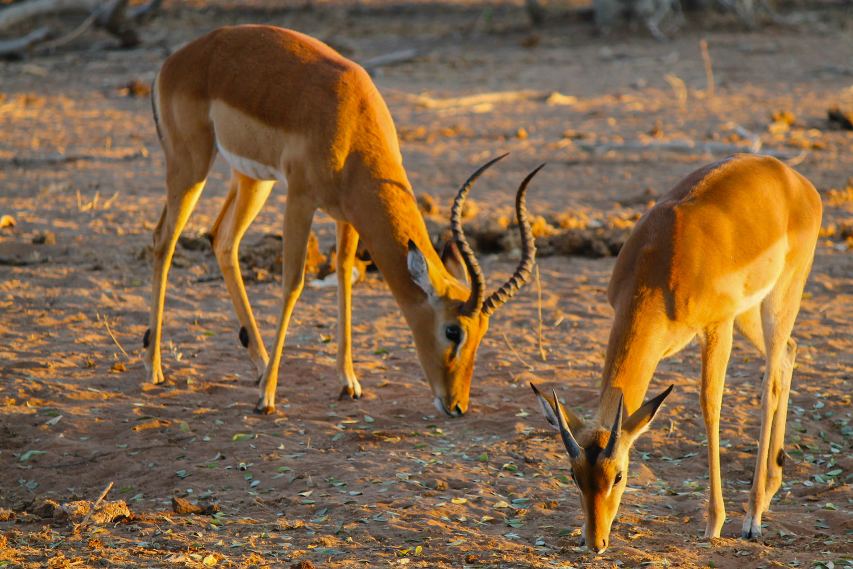 Impala in Chobe National Park.