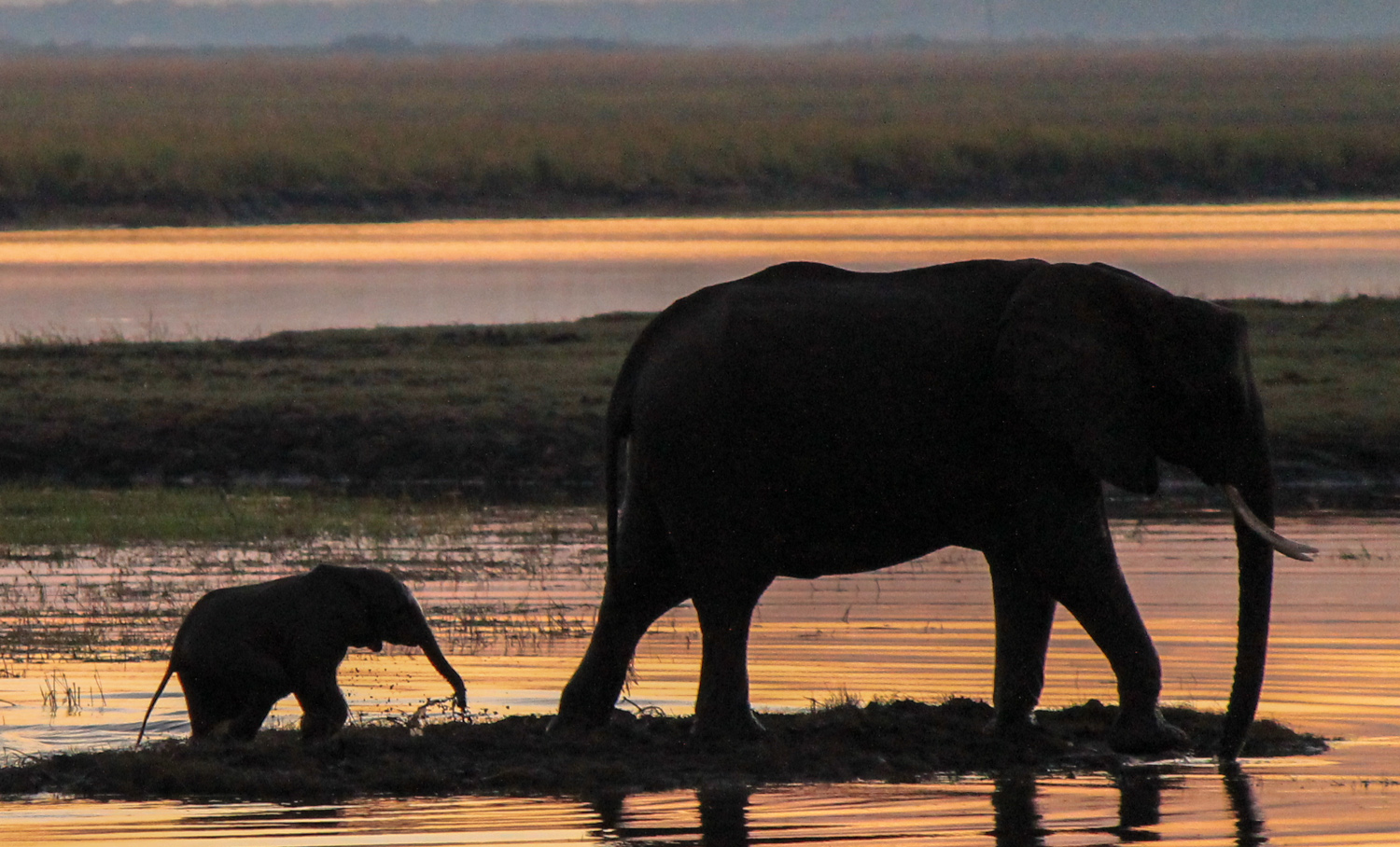 Elephants at sunrise in the Chobe River.