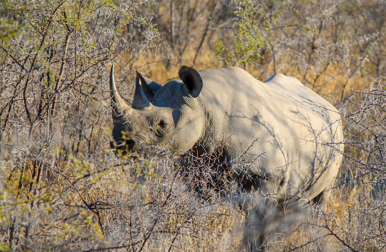 The rare black rhino in Etosha National Park.