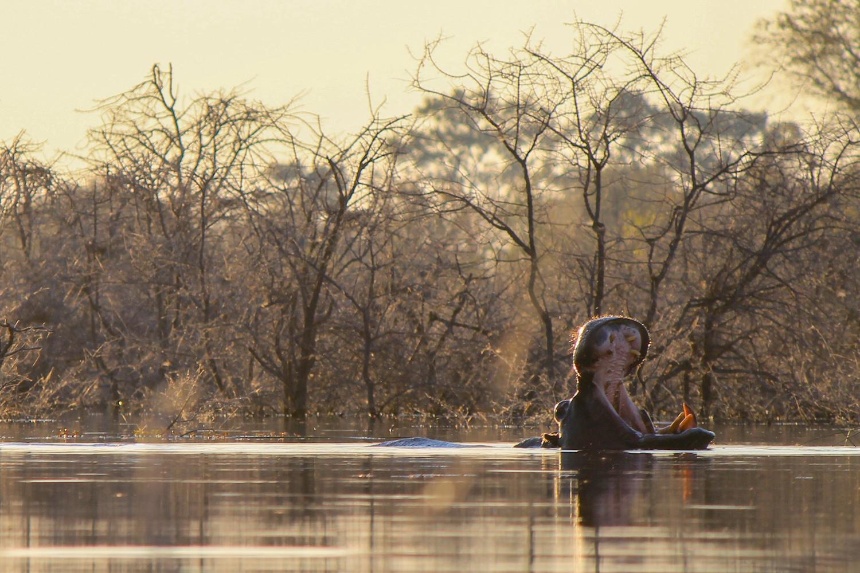 Hippo as viewed at water level from a mokoro canoe, Okavango Delta.