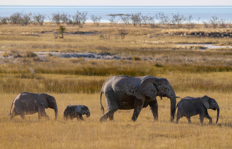 Elephants on the move in Etosha National Park.