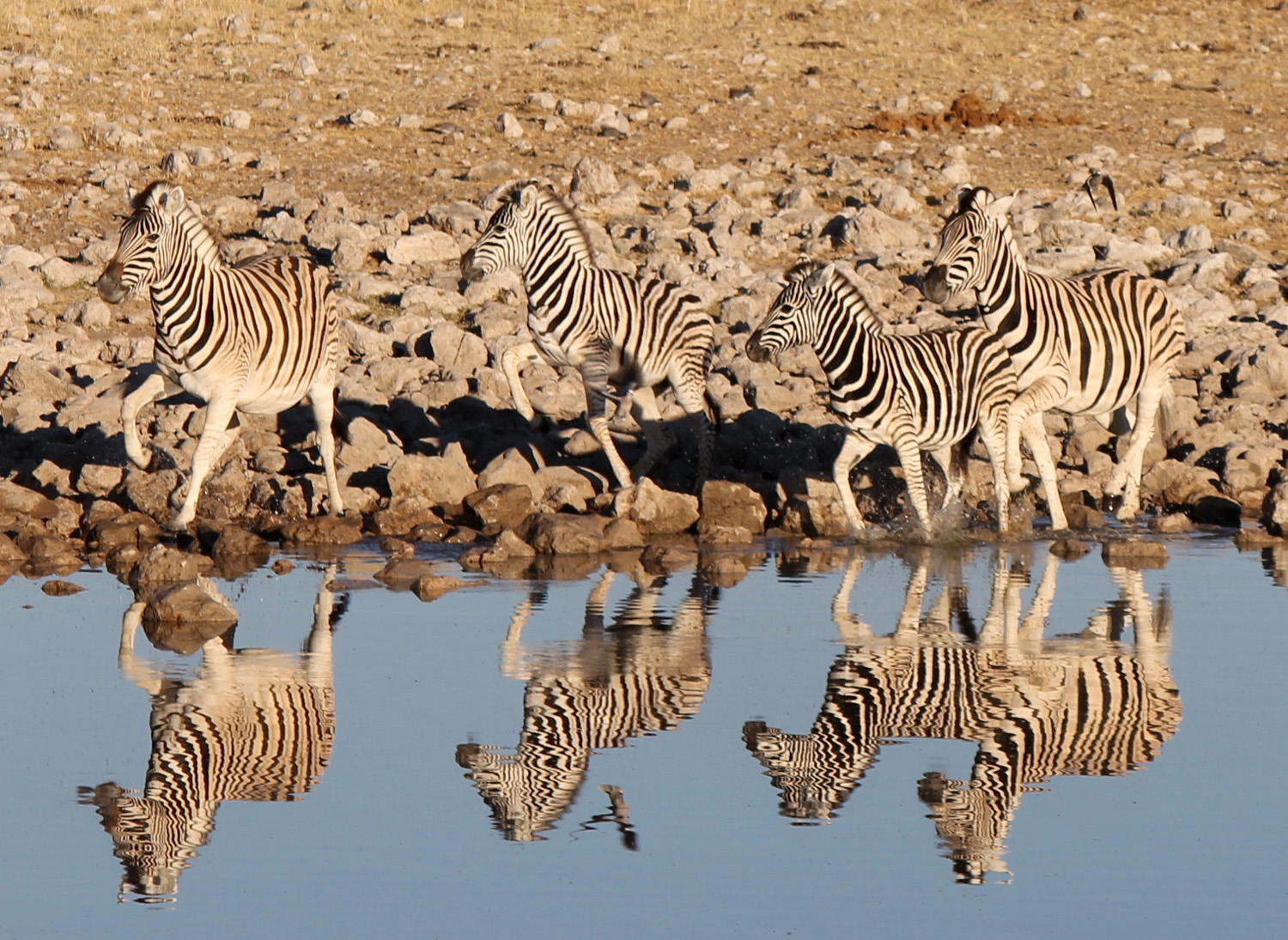 Zebras at a water hole in Etosha National Park.