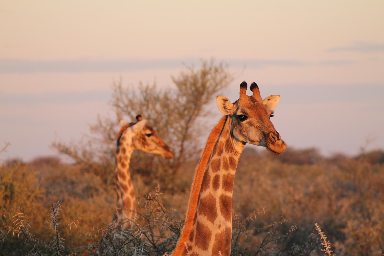 Giraffes in Etosha National Park.