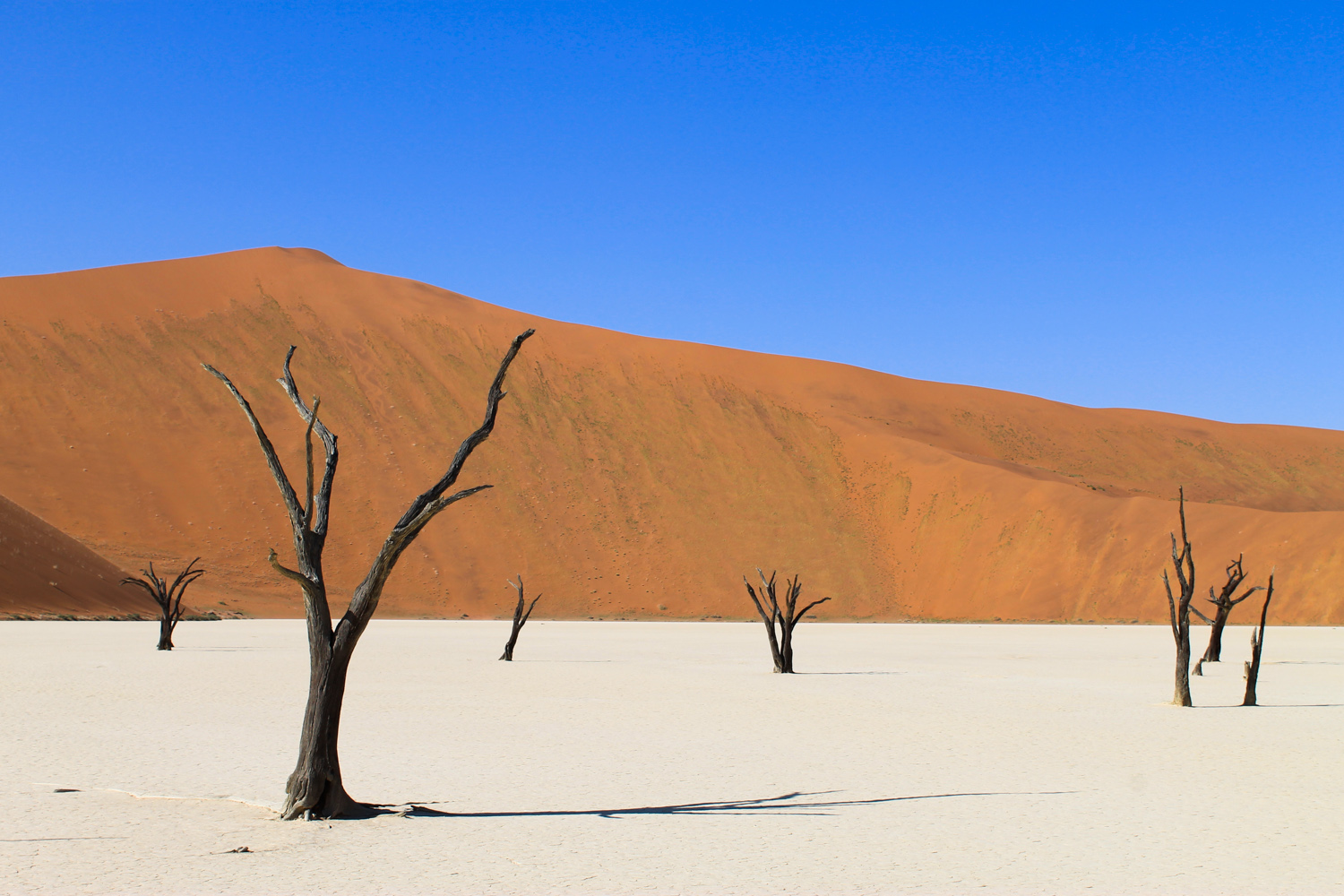 Dead acacia tress in the white clay pan at Deadvlei in Namibia.