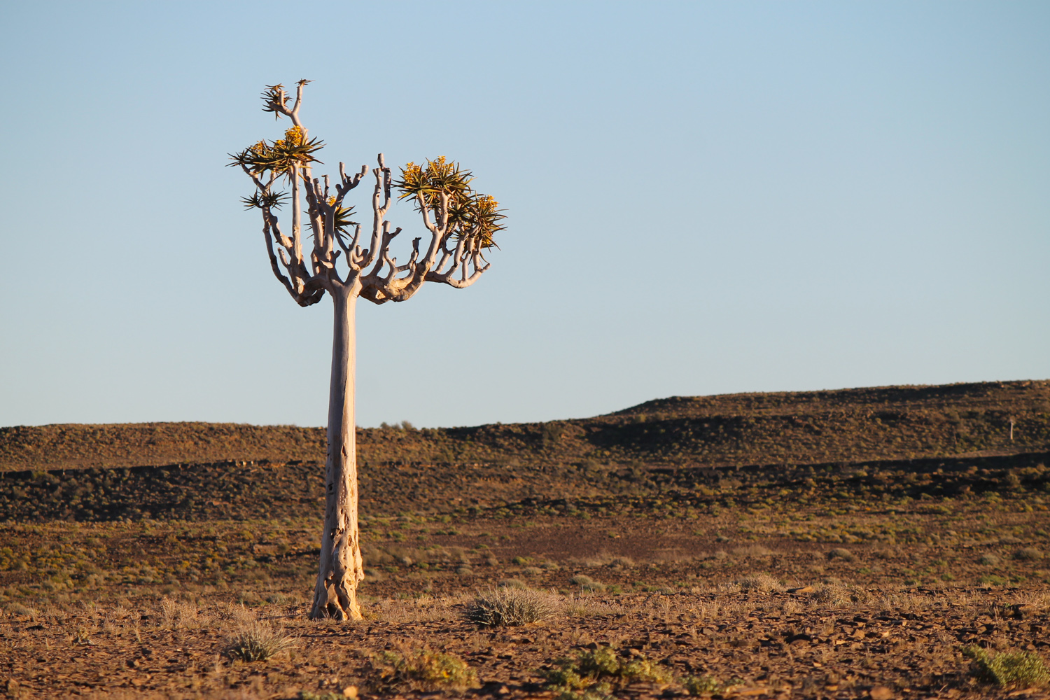 Quiver tree in southern Namibia.