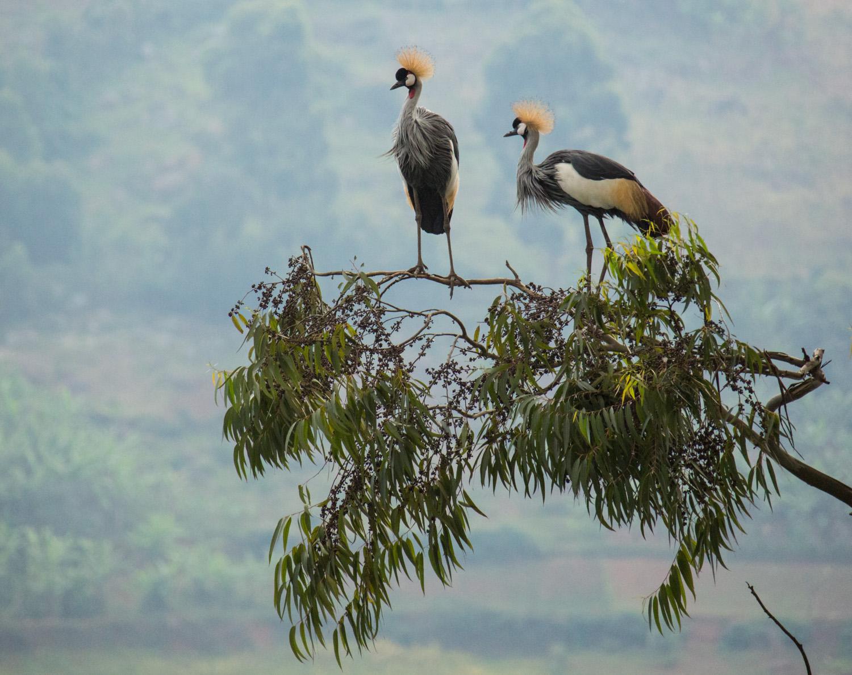 Grey crowned cranes over Lake Bunyonyi.