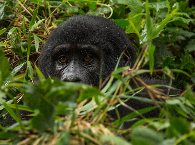 Mountain gorilla in Bwindi Impenetrable Forest.