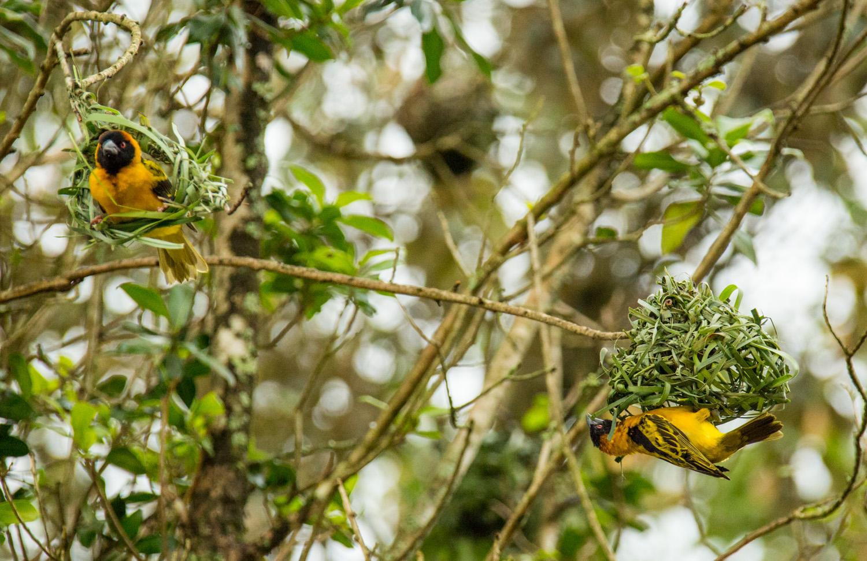 Golden weaver building a nest.