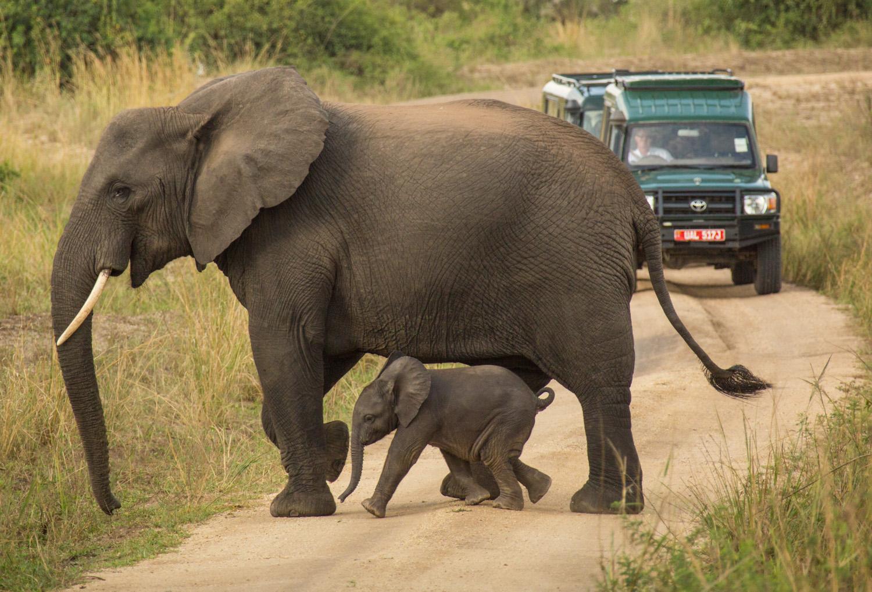 Elephants crossing the road in Queen Elizabeth National Park.