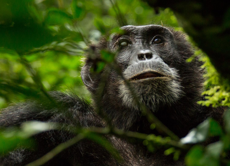 Chimpanzee in Kibale National Park.