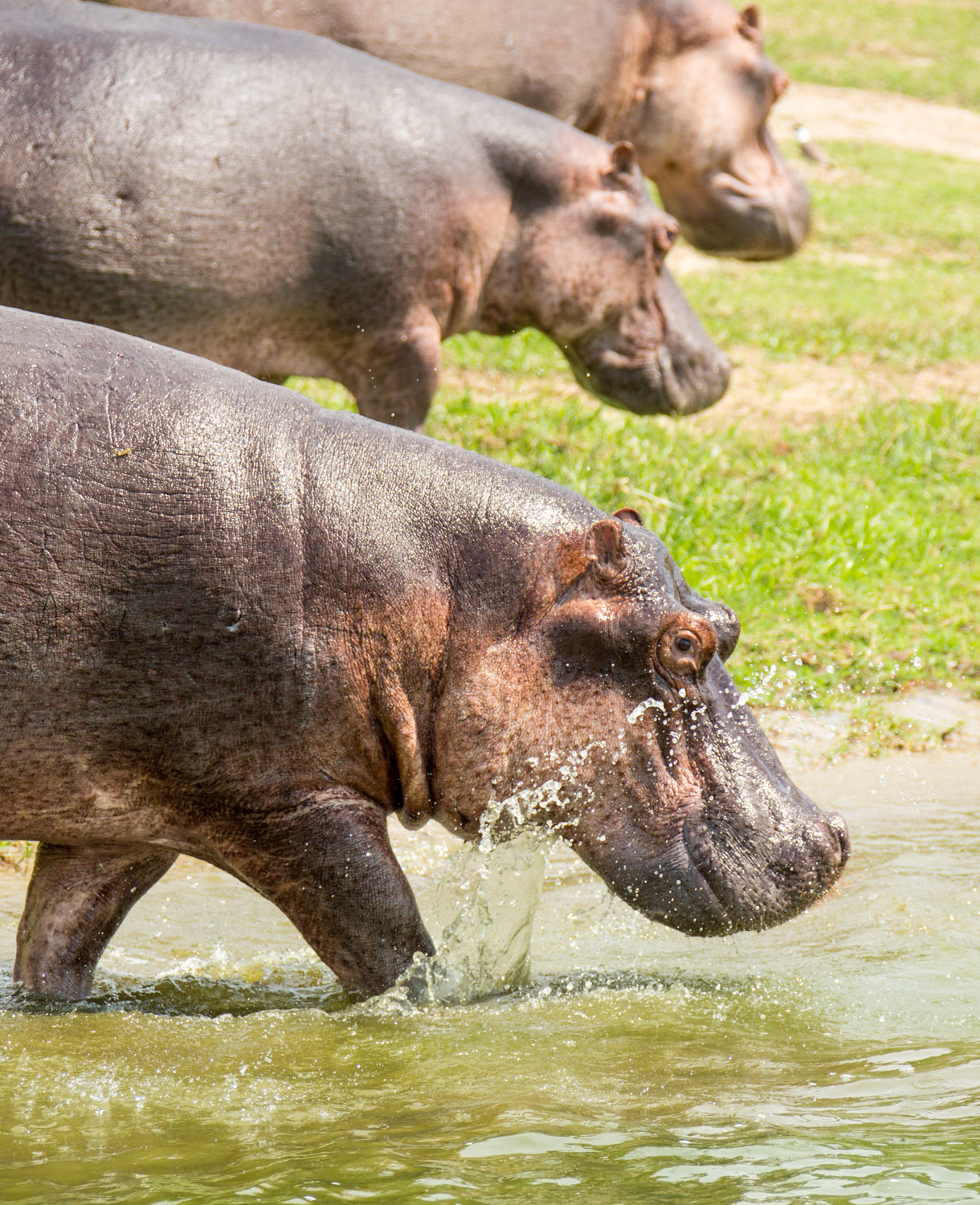 Hippos in the Kazinga Channel.