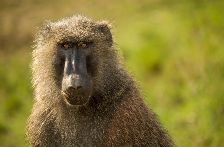 Olive baboon in Queen Elizabeth National Park.