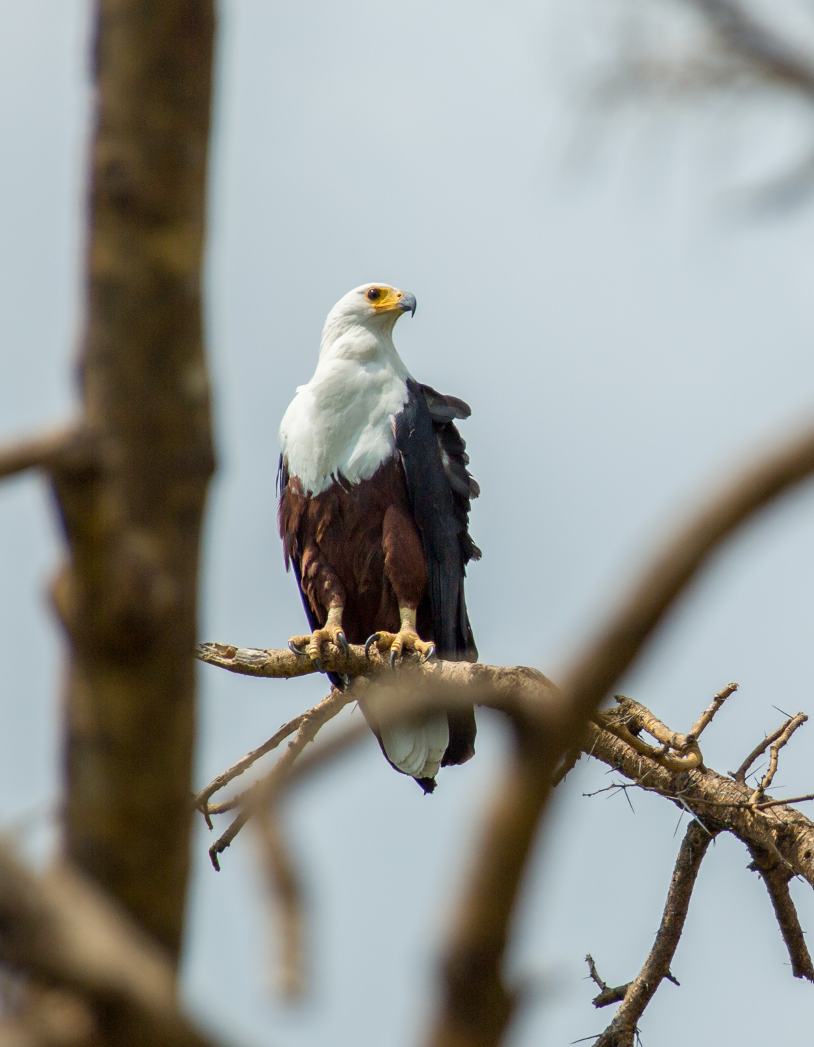 African fish eagle in Kazinga Channel.