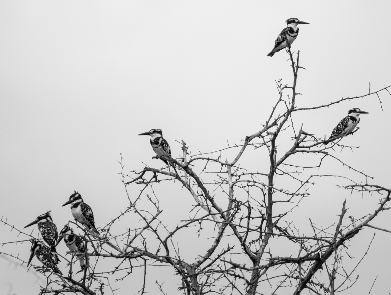 Pied Kingfishers in the Kazinga Channel.