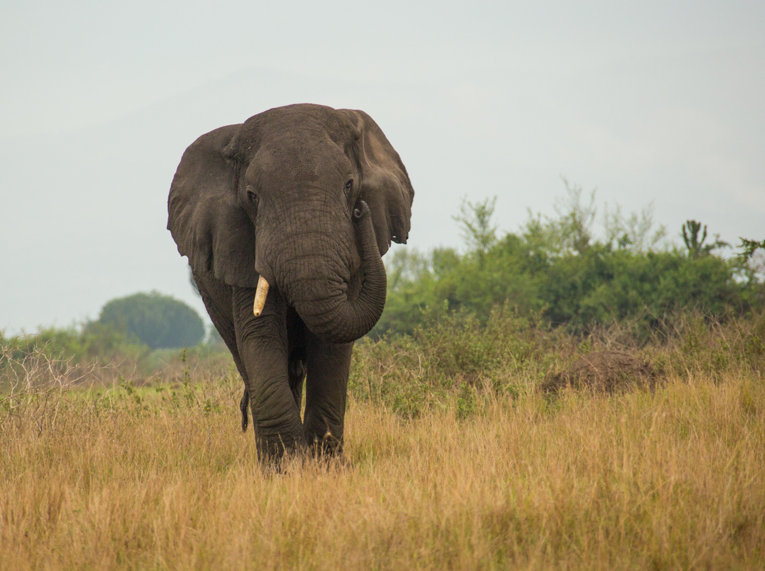 One-tusked elephant in Queen Elizabeth National Park.