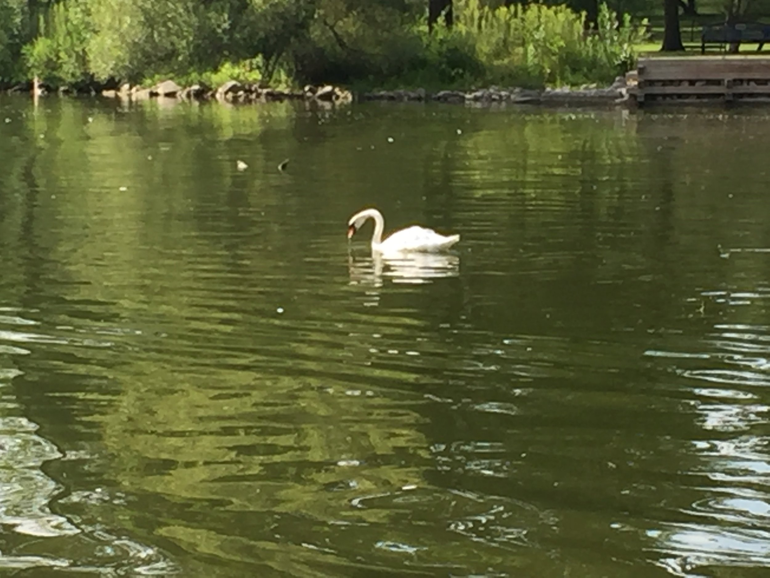 [image description: A large white swan with a black and orange bill swimming along the river.]