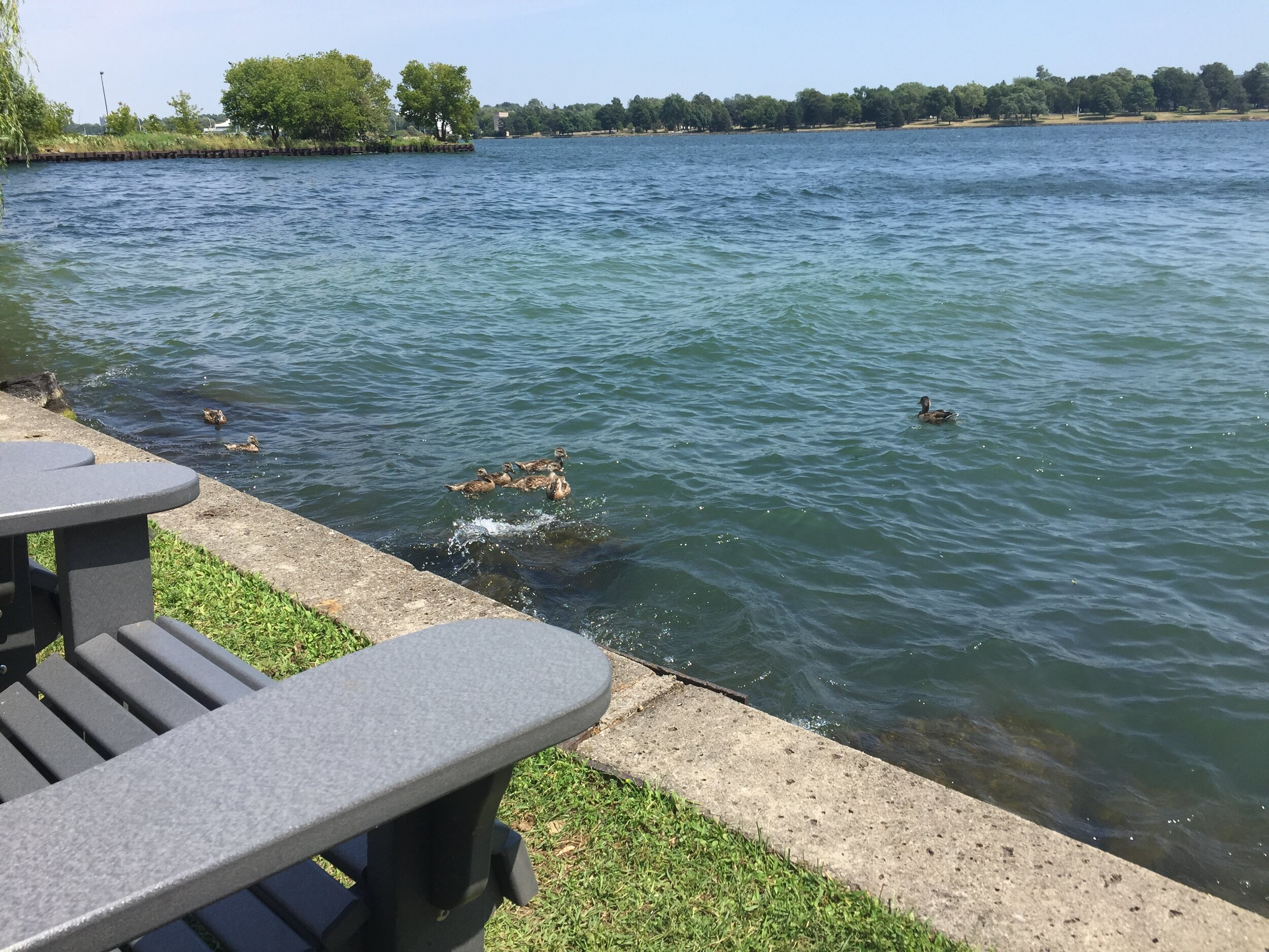 [image description: A cute little family of ducks swimming past where we were sitting on the edge of the lake.]