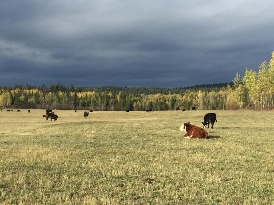 Double G Cattle(2).jpg