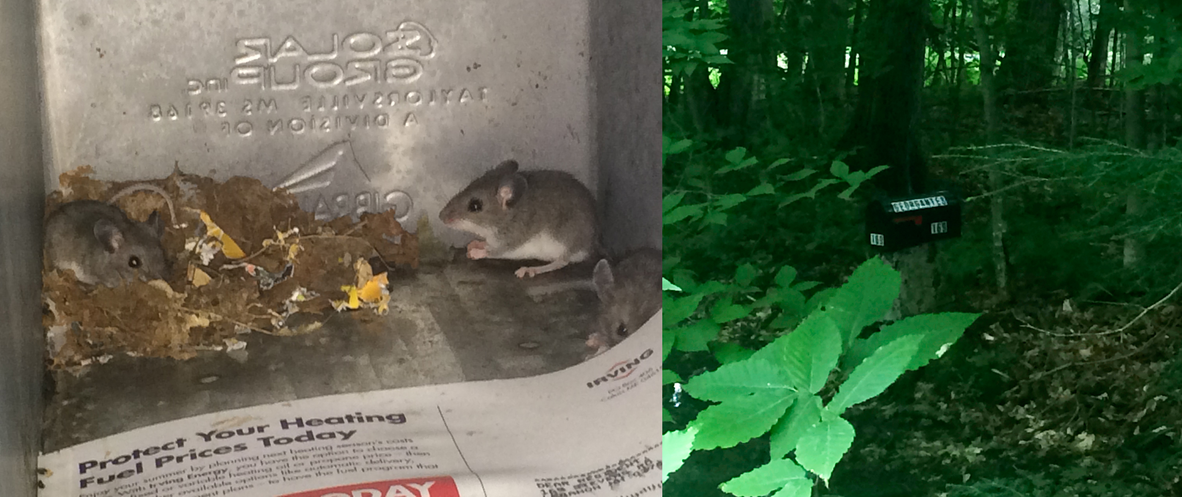 Field Mice In My Mailbox, Summer 2015
