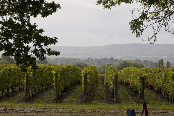 The vineyard at Nyetimber, with the South Downs visible in the distance.
