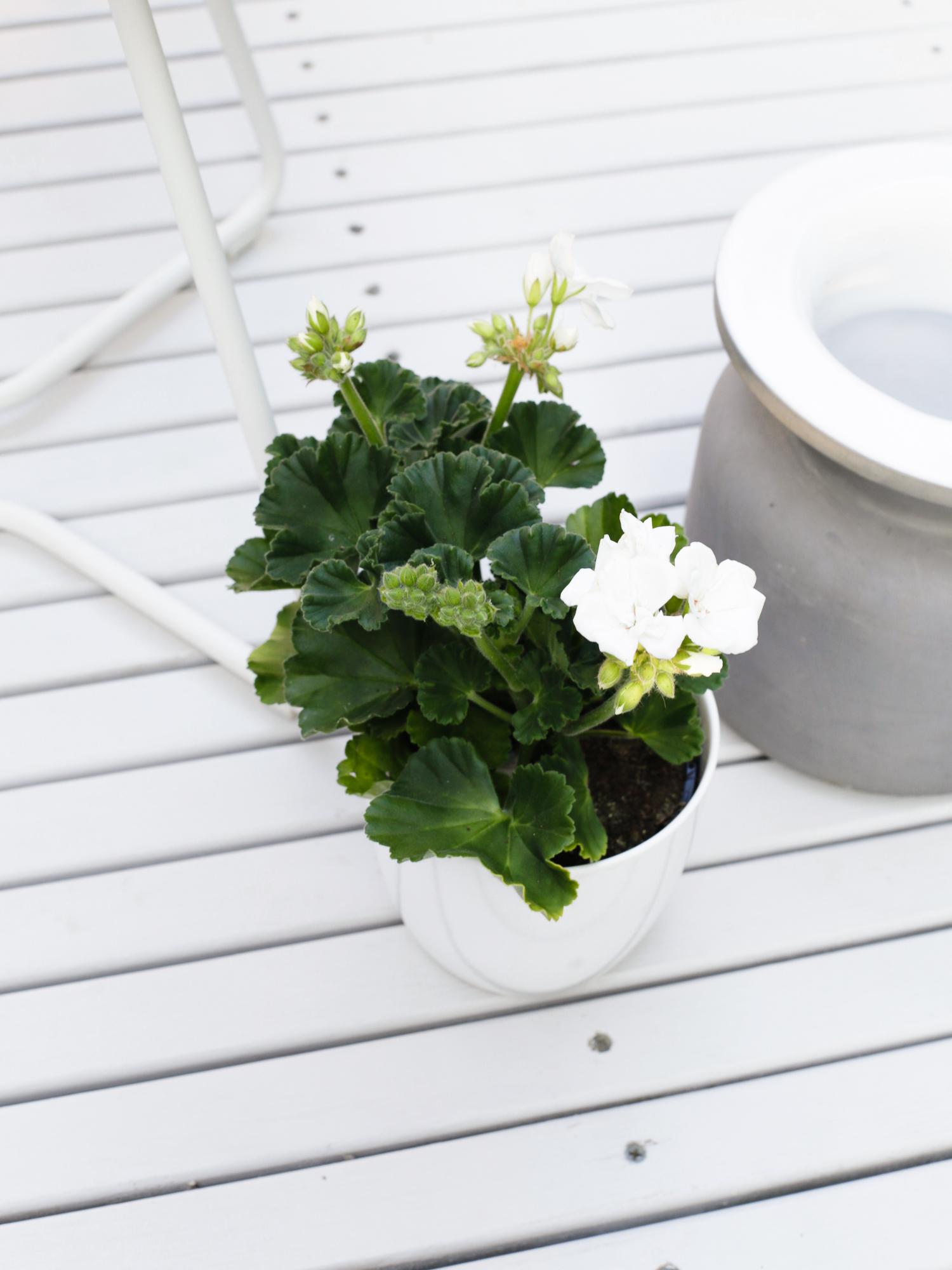 White Geranium | Design Hunter