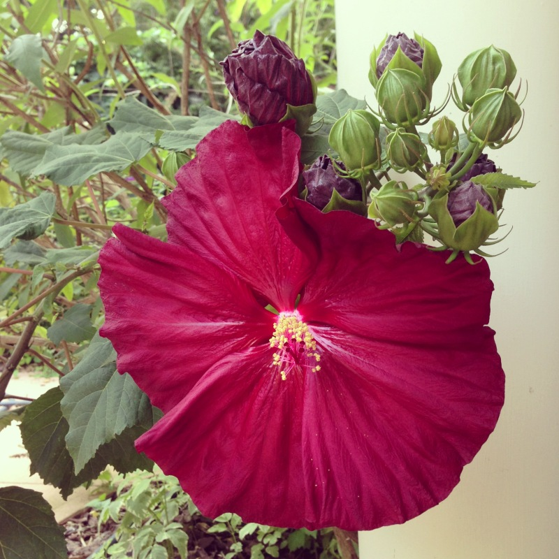 Hardy Hibiscus, July 18, 2013