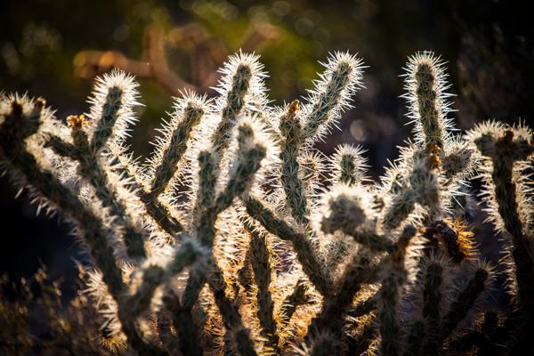 adage_cactus_Sonoran