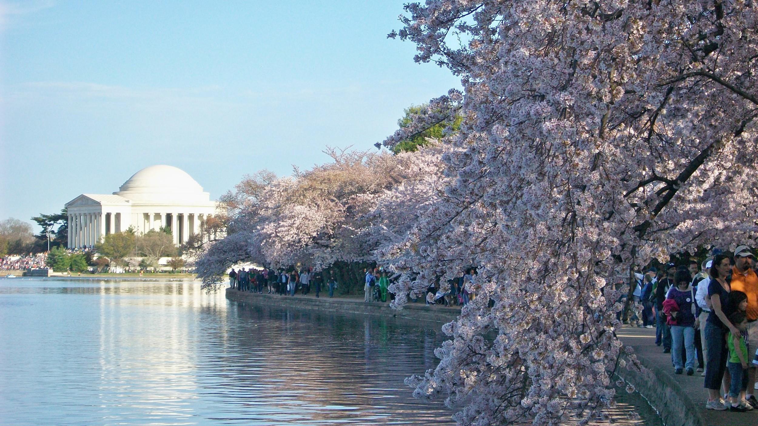 DC-Cherry-Blossom-Festival