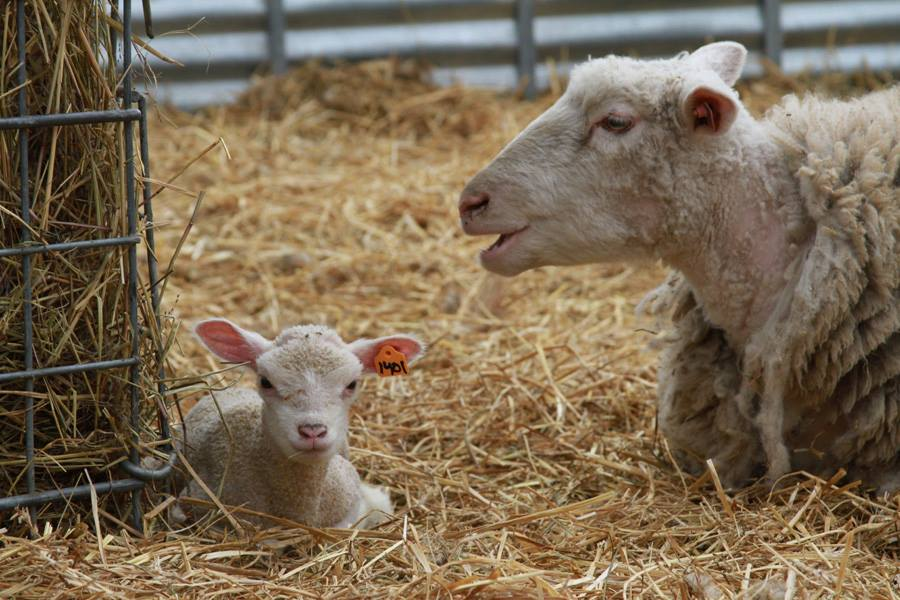 Stone Barns Center lambs