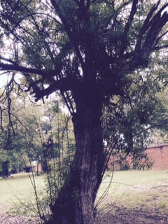 I was a little obsessed with this creepy-looking tree on the asylum grounds.