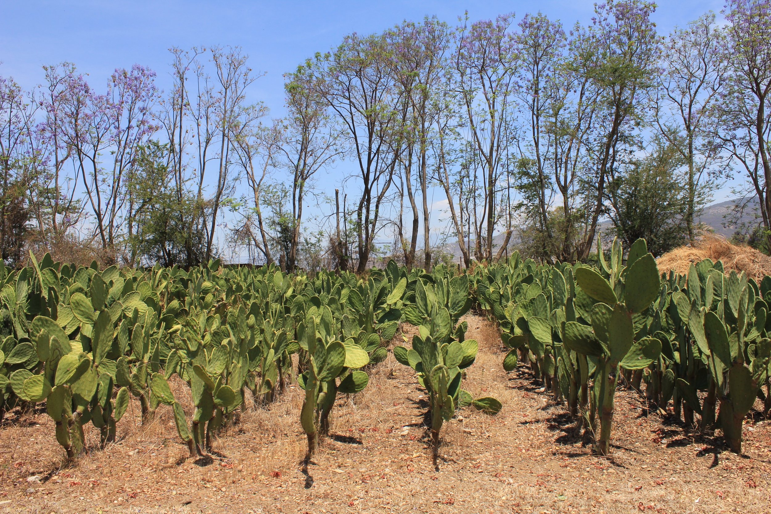 A nopal field in Oaxaca