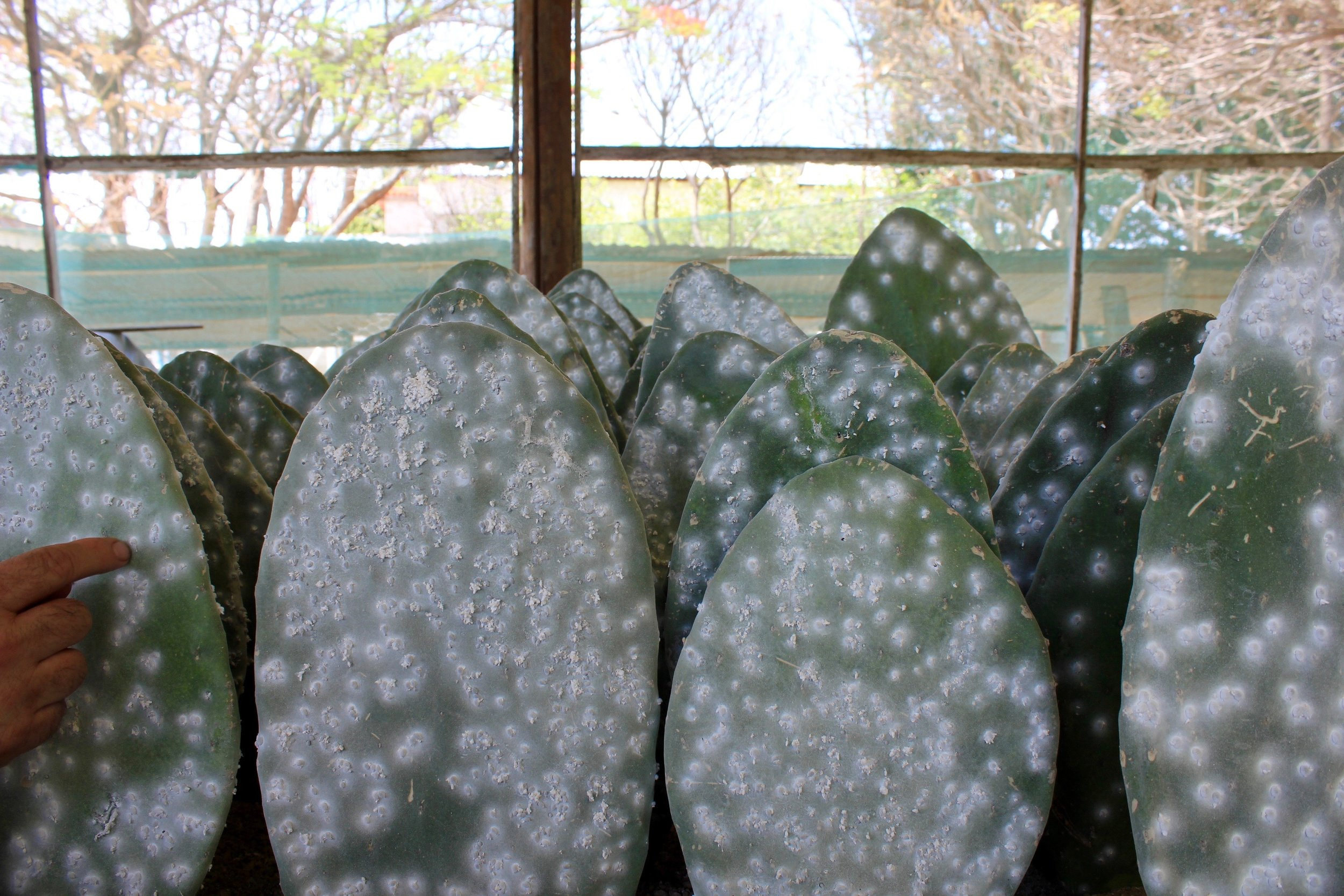 Cactus paddles fully infested with cochineal