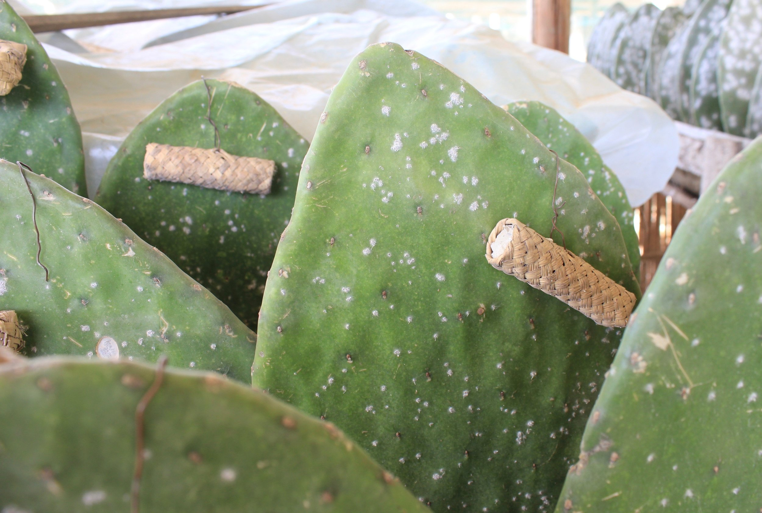 Cactus paddles showing early signs of cochineal infestation