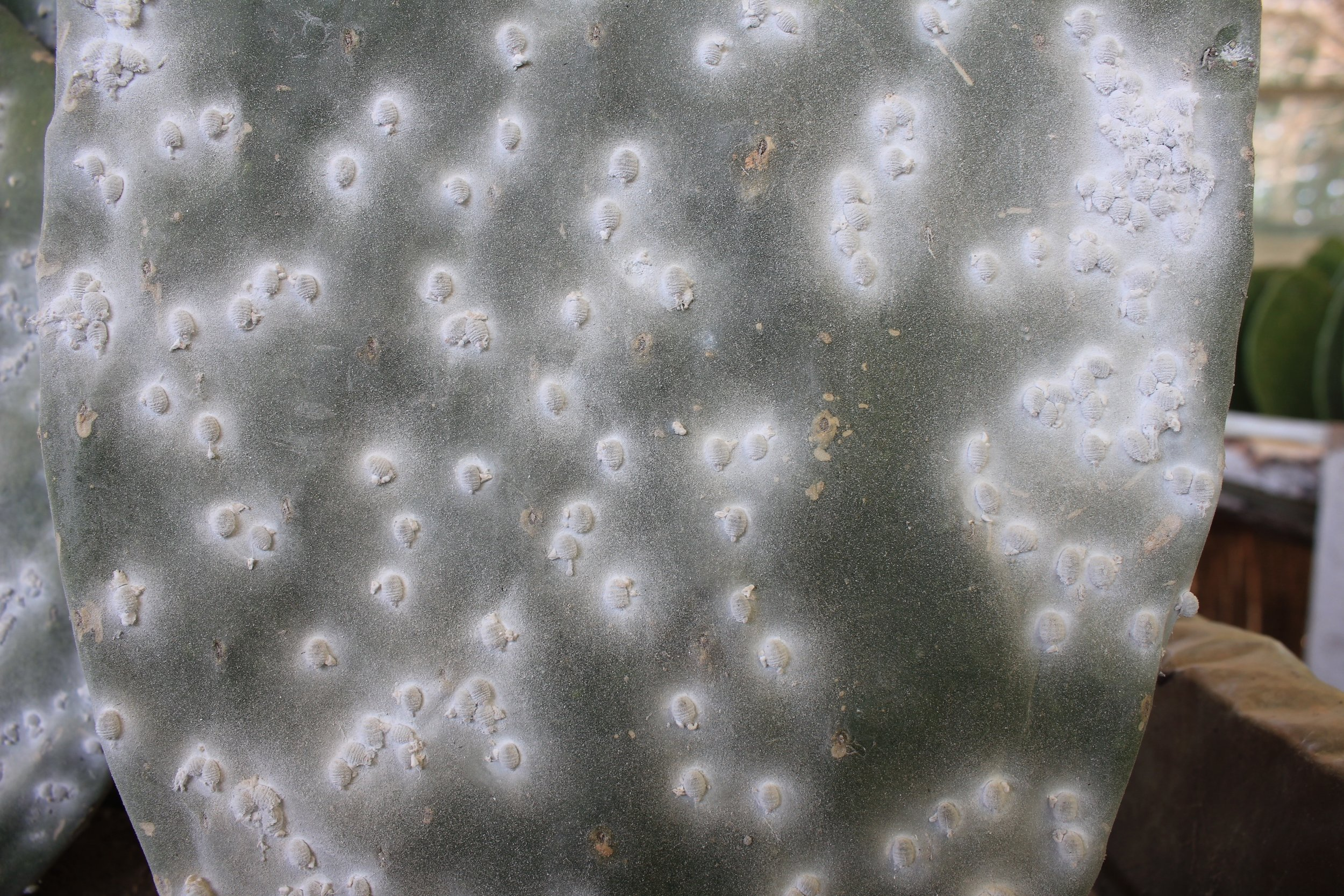 A close up view of female cochineal infesting a cactus paddle