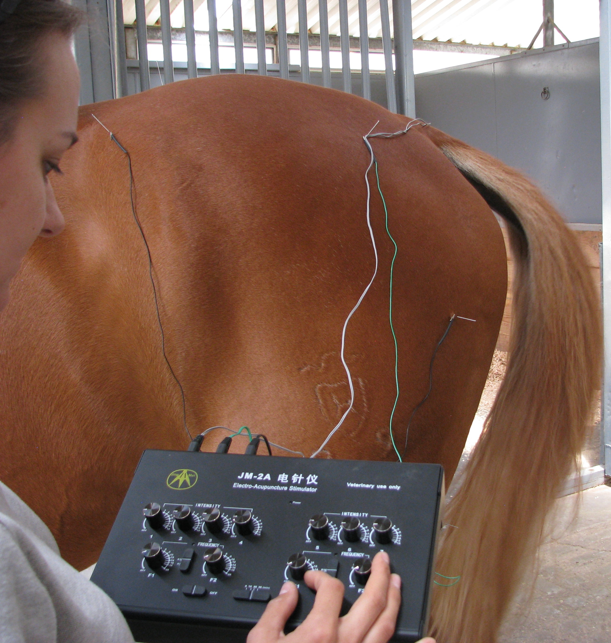 A horse receiving electro-acupuncture