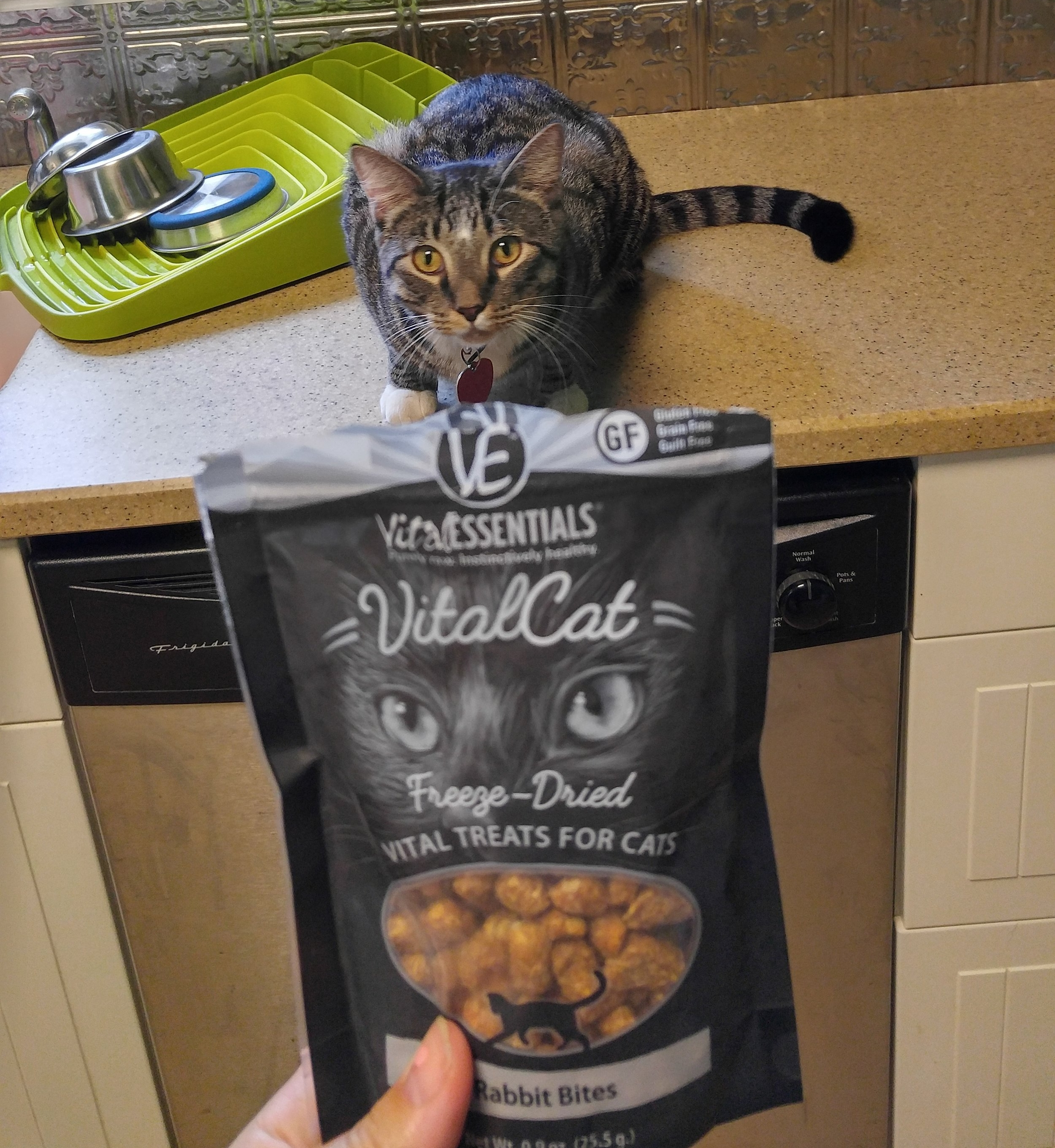 Our cat sitting client, Maynard waits for his freeze dried rabbit treat. He LOVES his raw diet!