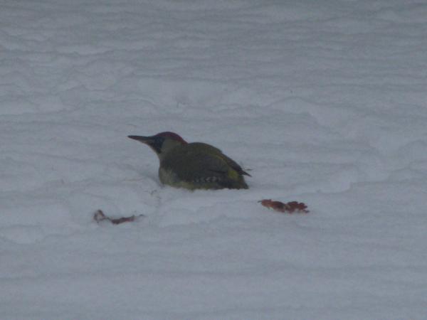 Enkele winters geleden zat deze Specht lustig te wroeten in de sneeuw op zoek naar voedsel. Zijn kop ging helemaal onder de sneeuw, prachtig om bezig te zien.