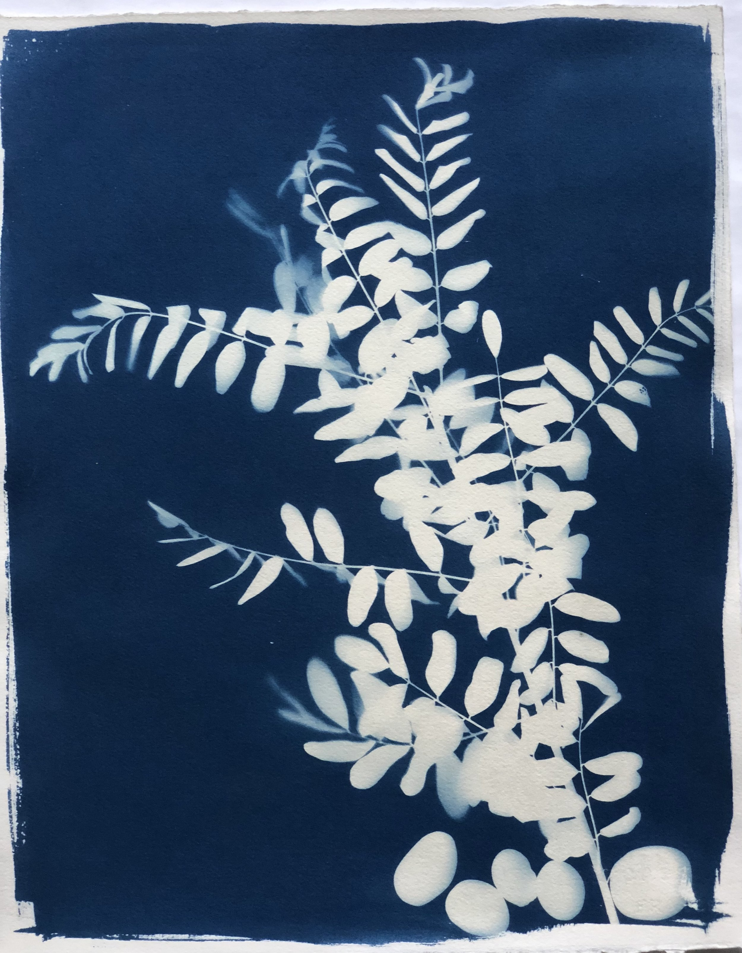 """Cyanotype C 16"""" x 20"""" by Amy Chase Gulden"""