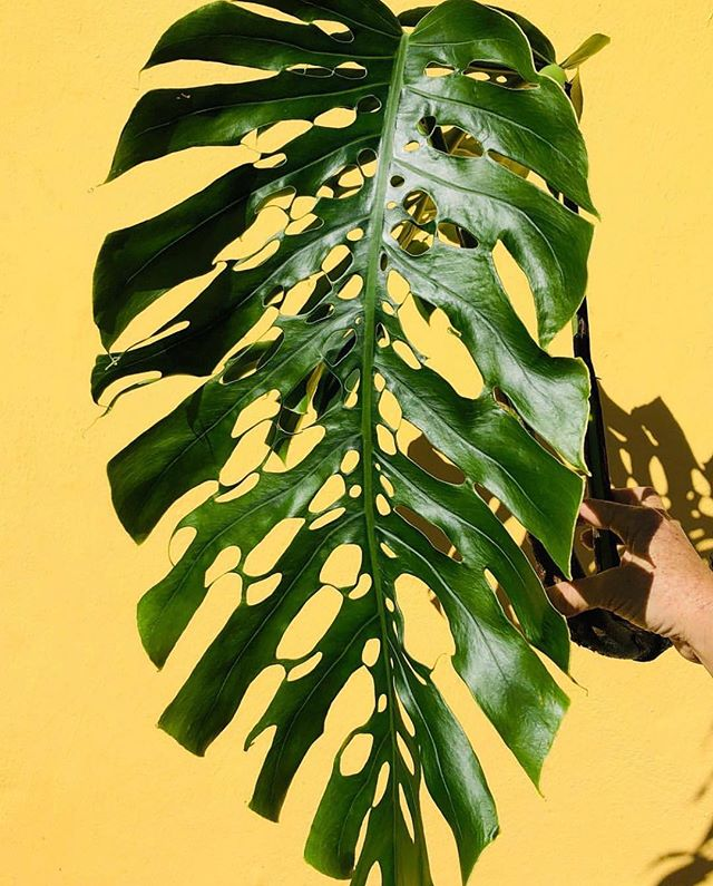 Monstera Monday ⌓⌇◡◦ Mature Monstera Dubia leaf by dream grower way over in Florida, @nsetropicals for #MonsteraMonday (I'm still on American time ☺️)🌿✨⌇◯⌢◦
