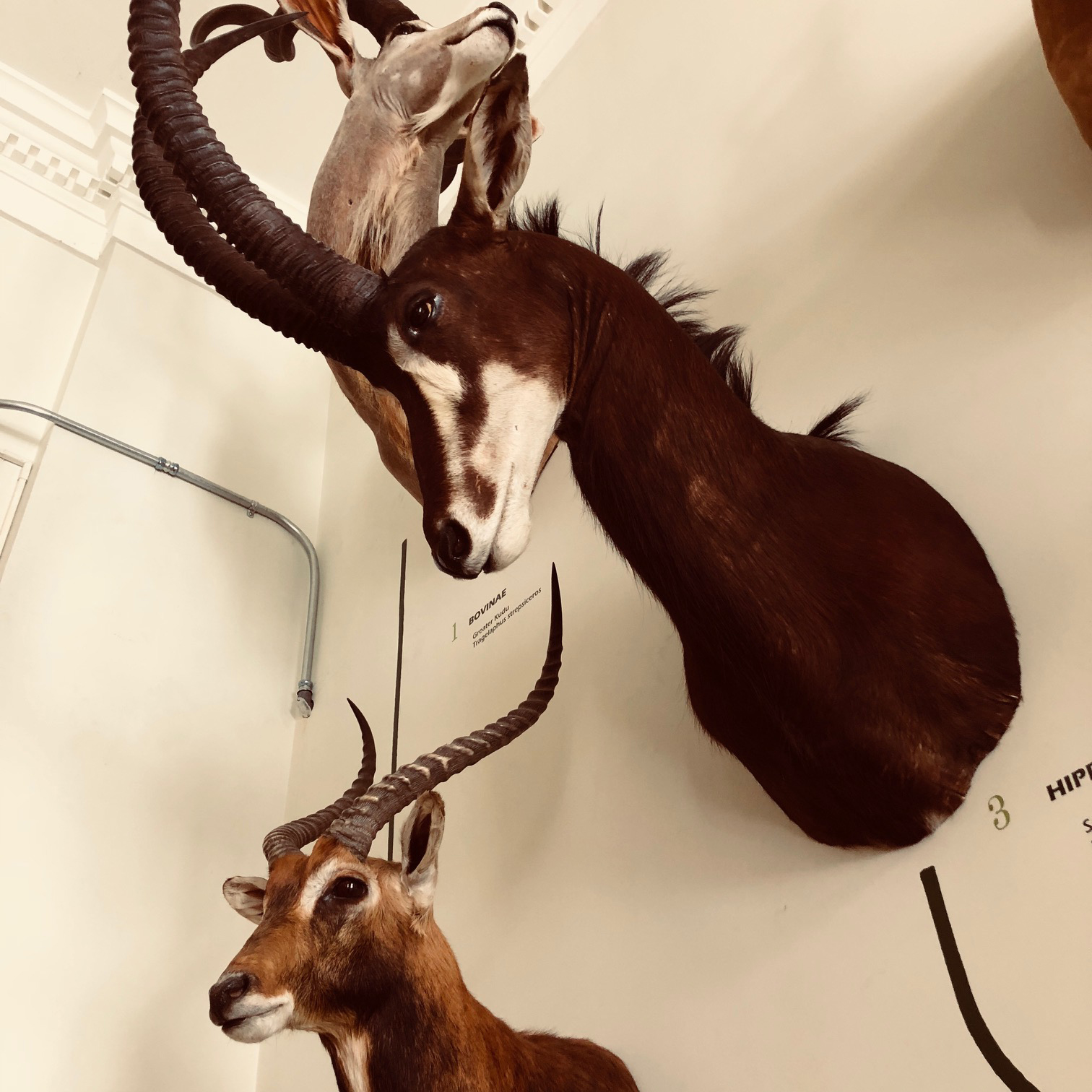deer in education room redpath.jpg