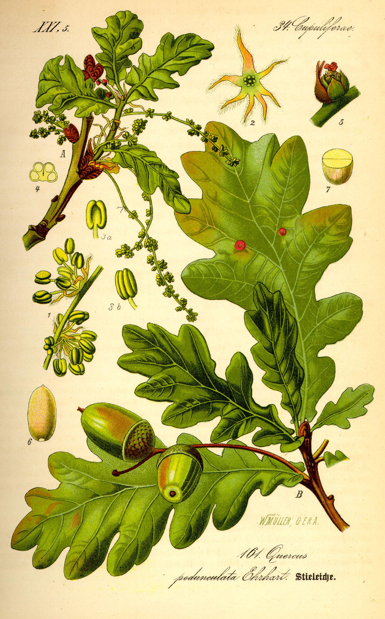Quercus robur. Drawing by Prof. Dr. Otto Wilhelm Thomé Flora von Deutschland, Österreich und der Schweiz 1885, Gera, Germany.