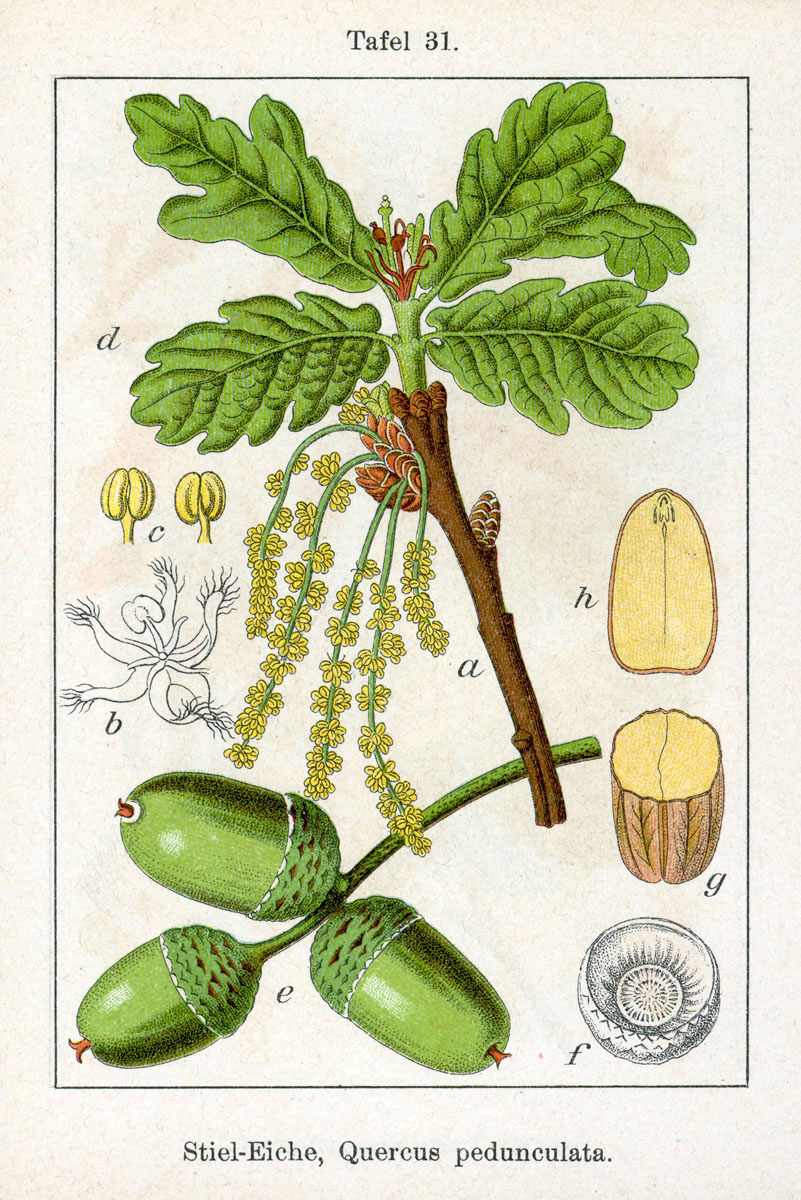 Quercus robur  . By Johann Georg Sturm (Painter: Jacob Sturm)
