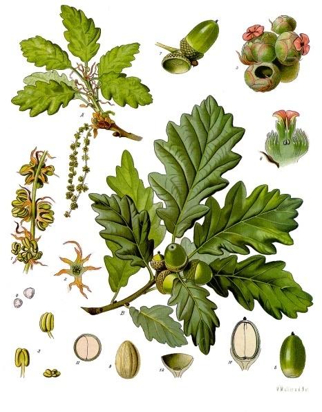 Quercuspetraea  , from Franz Eugen Köhler, Köhler's Medizinal-Pflanzen