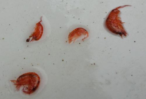 amphipods.png