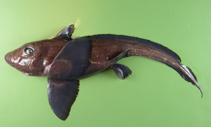 A small-eyed rabbitfish (hydrolagus affinis). Photographs courtesy of  the  Pacific Shark Research Center
