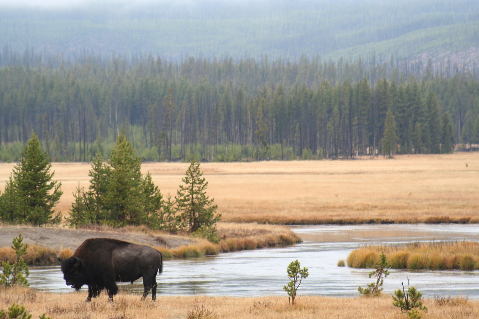 Bison in Yellowstone National Park. Courtesy of  US Geological Survey.