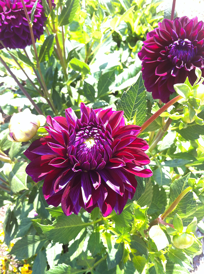 Beautiful dahlias from local nursery