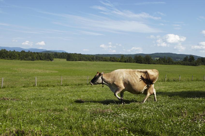 animal_farm_colin clark_cow.jpg