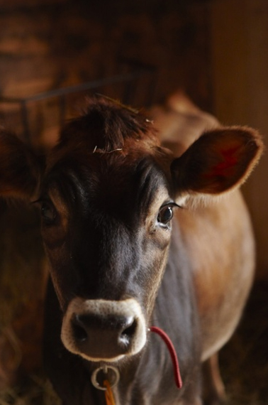 animal_farm_colin clark_cow2.jpg