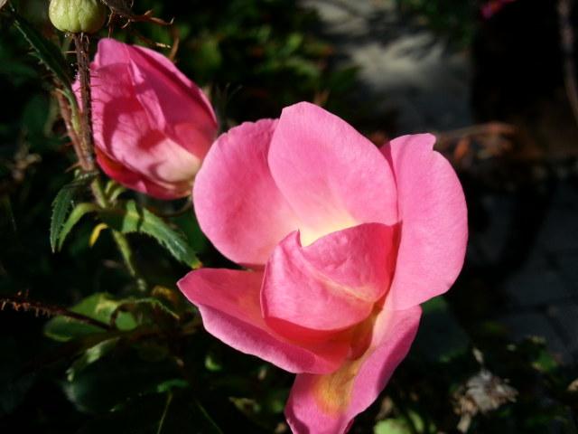 Flowers Roses.jpg
